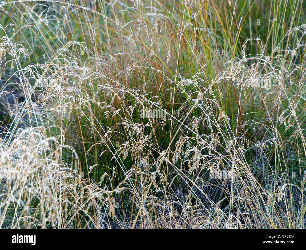 Grasses With Dewdrops - Stock Image