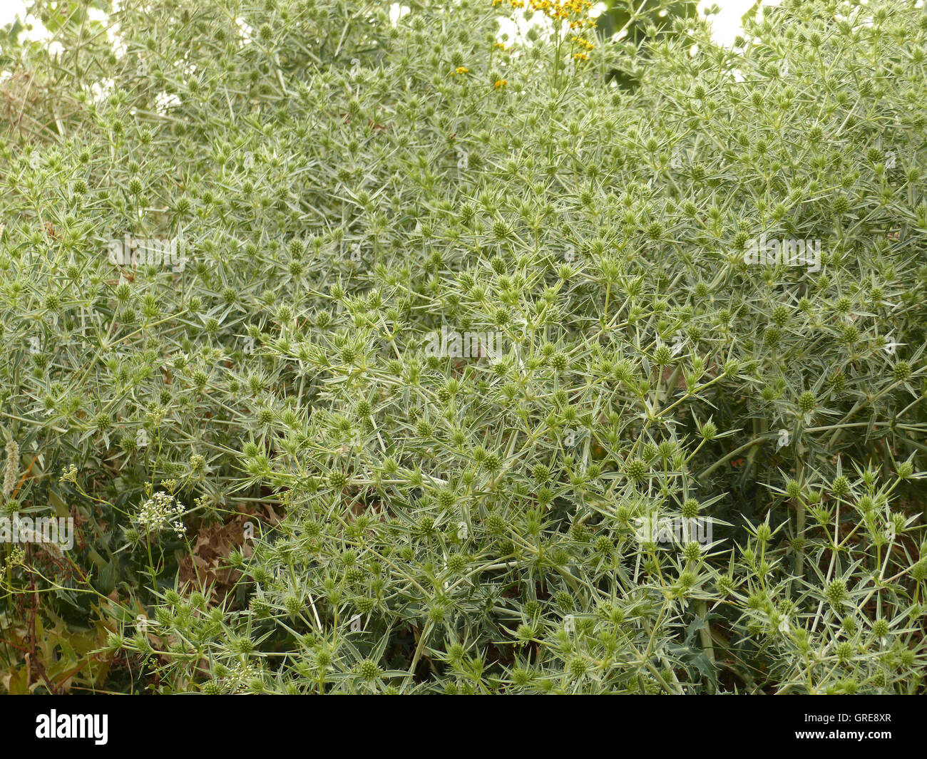 Countless Thistles - Stock Image