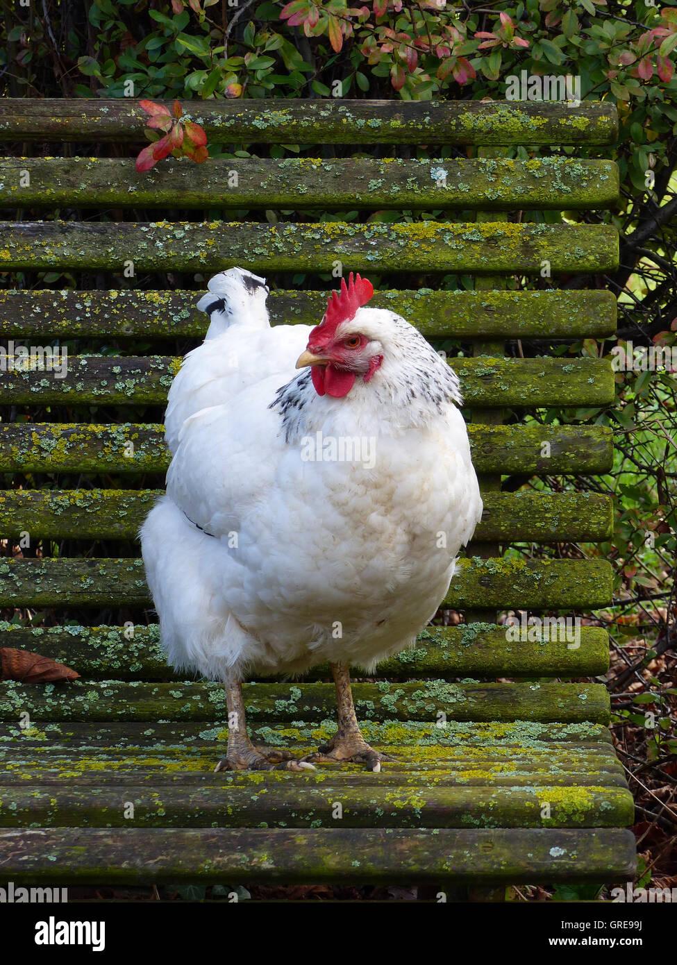 Free-Range, Happy Sussex Hen On Mossy Garden Bench Stock Photo