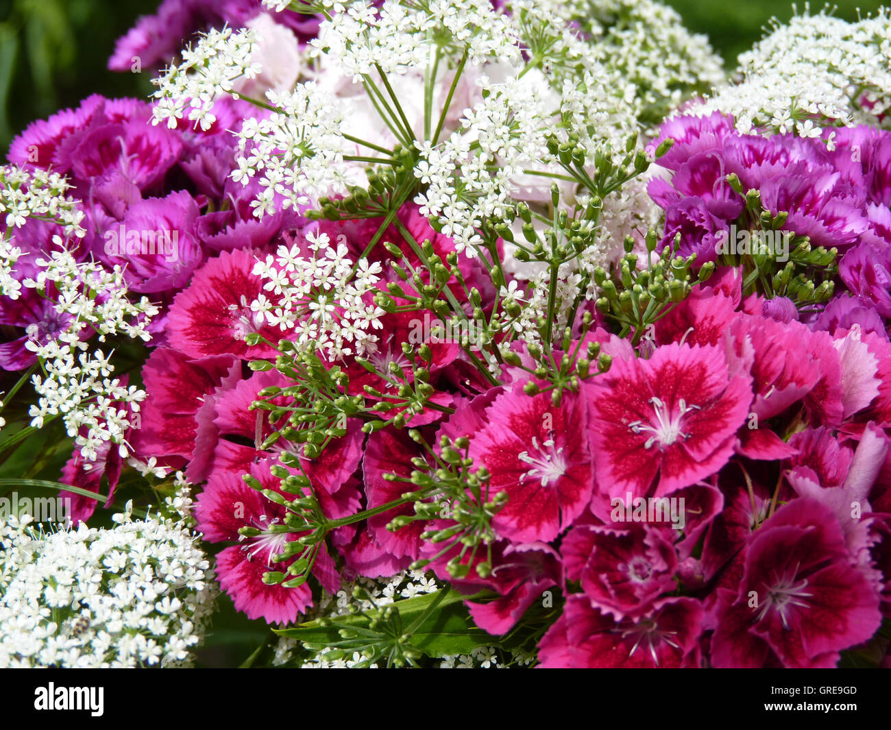 Bunch Of Sweet Williams And Blooming Goutweed Aegopodium Podagraria - Stock Image