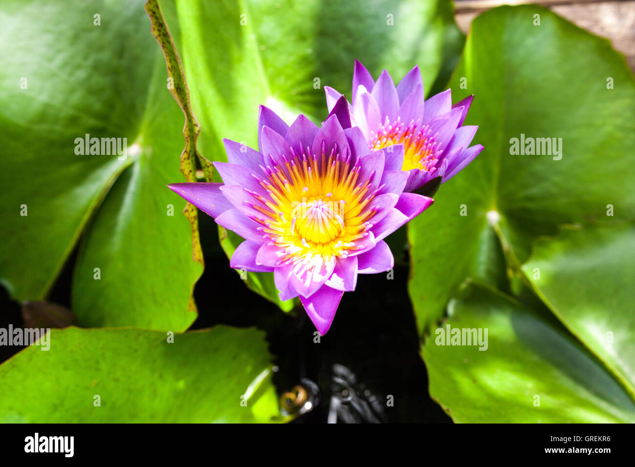 Beautiful lotus flower. Saturated colors and vibrant detail make ...