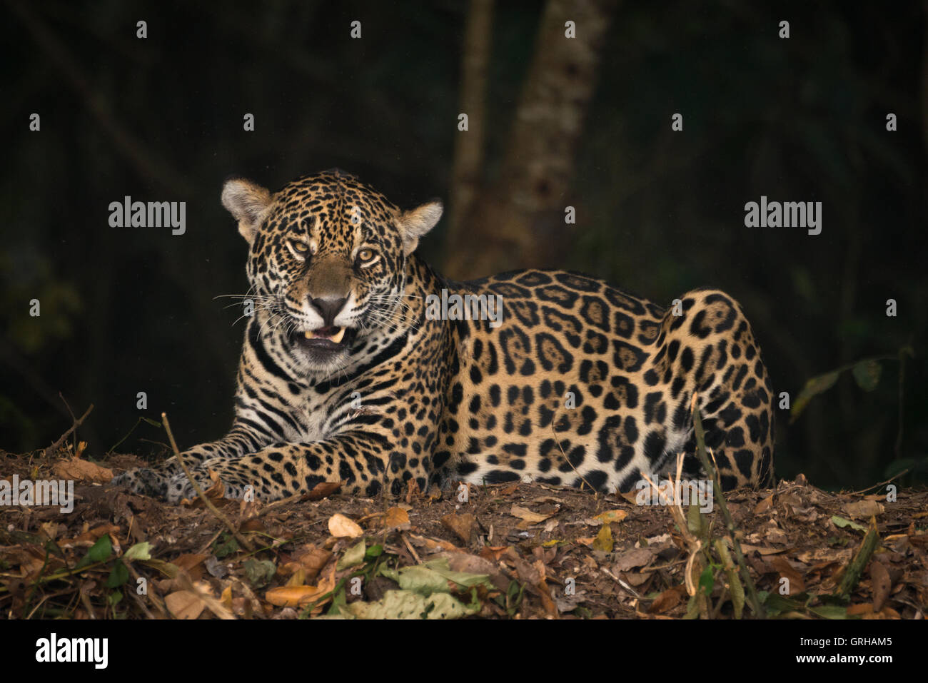 Jaguar snarling Stock Photo