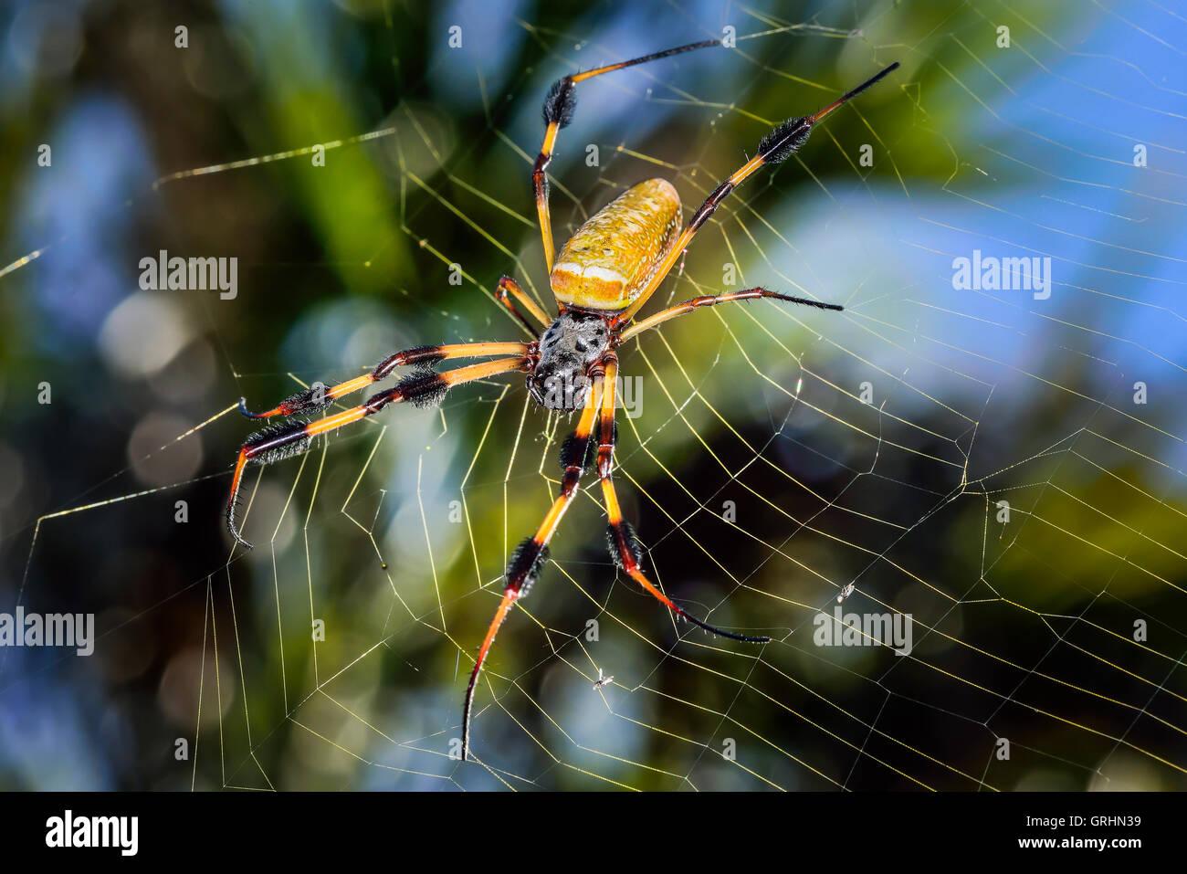 Golden Orb-Web Spider - Stock Image