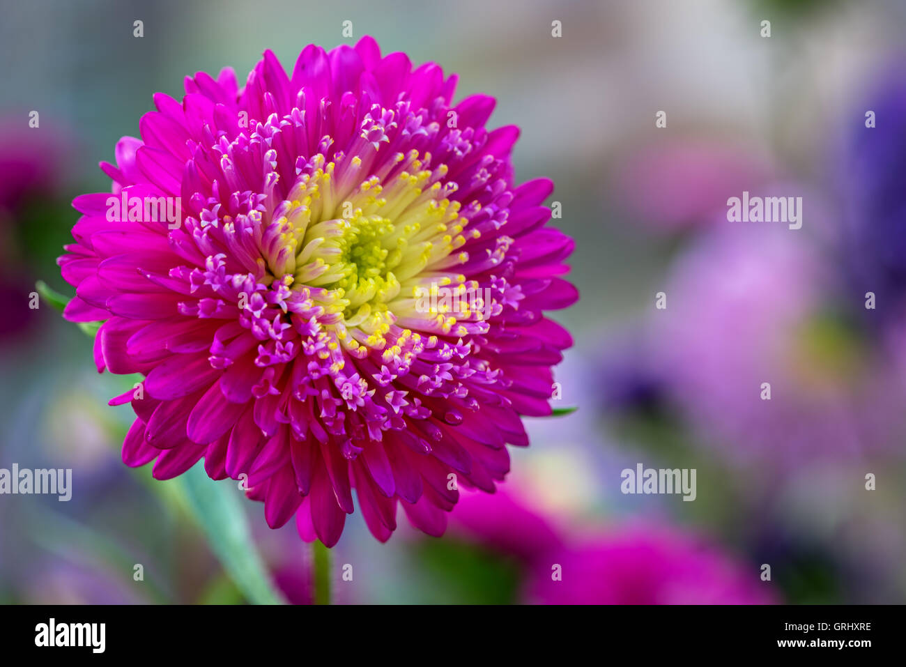Bright purple aster flower close up stock photos bright purple bright purple aster flower close up selective focus stock image mightylinksfo