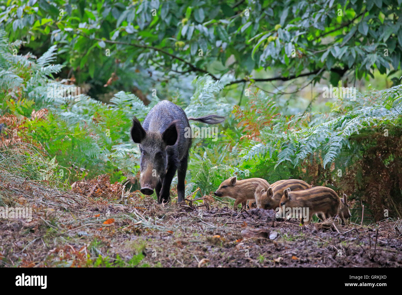 Female Wild Boar and piglets in the Forest of Dean - Stock Image