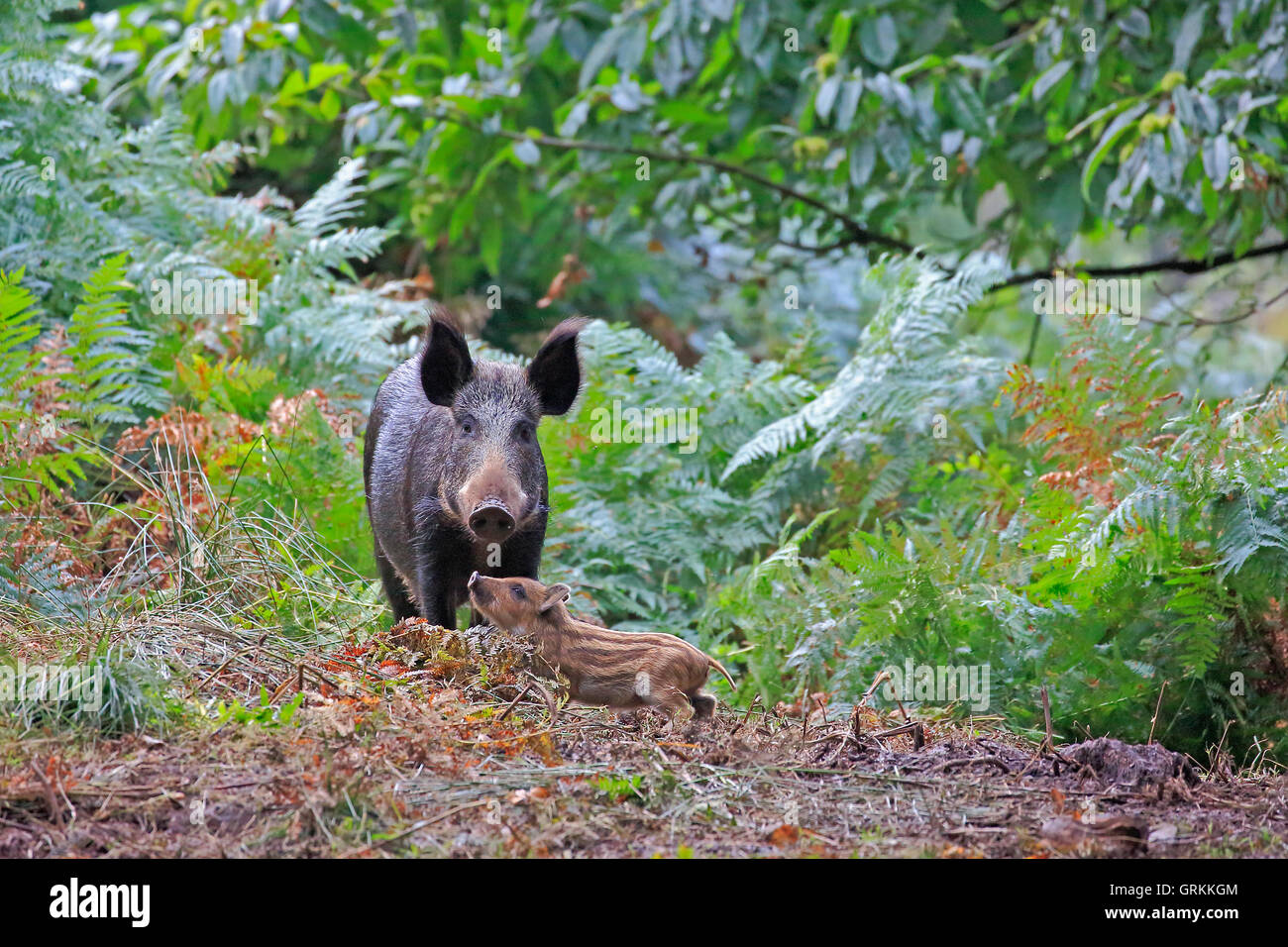 Wild Boar and piglet in the Forest of Dean - Stock Image