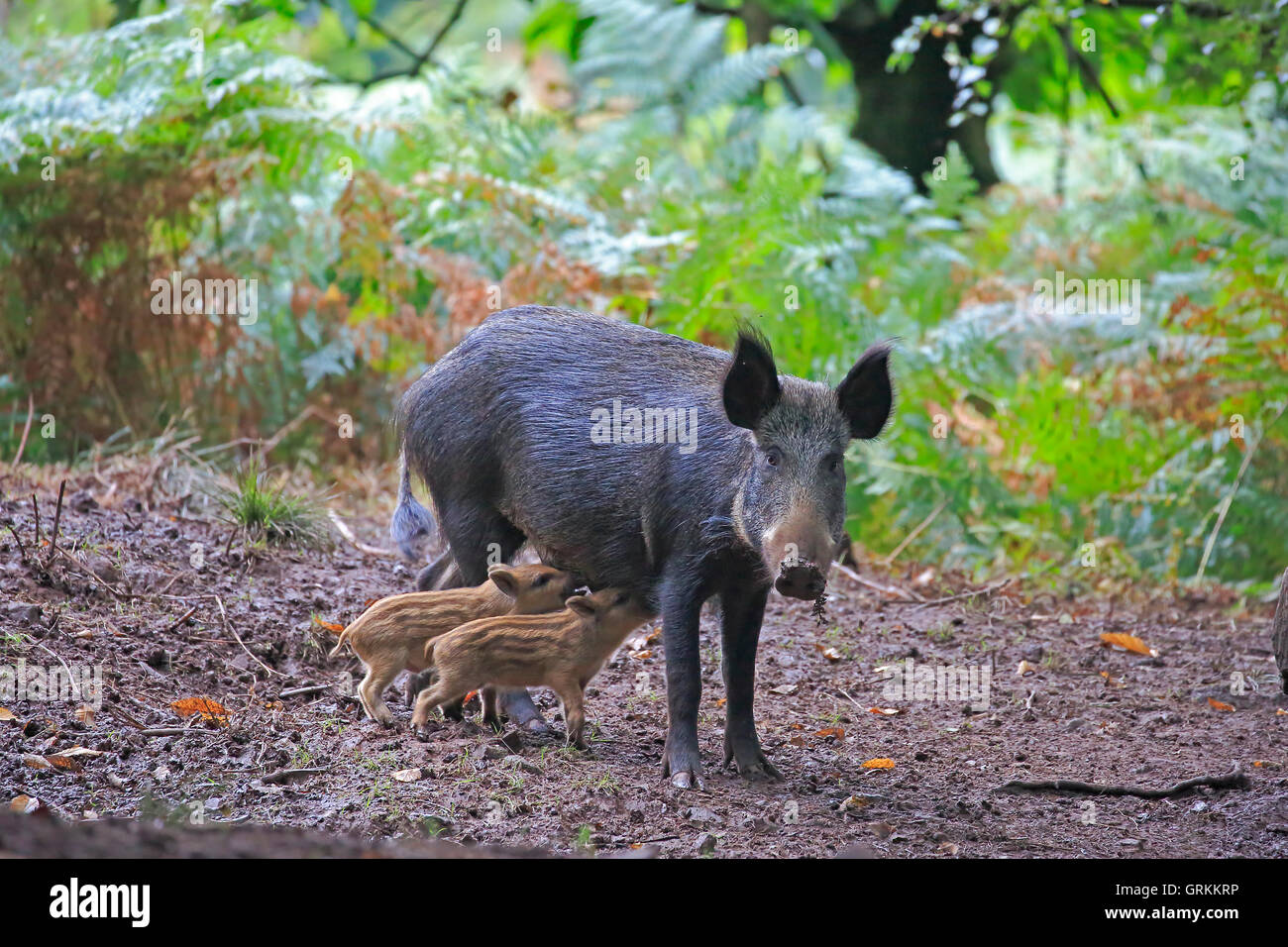 Female Wild Boar standing up suckling piglets in the Forest of Dean - Stock Image