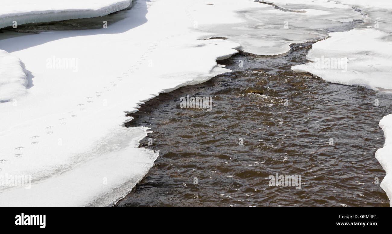 Duck tracks on thin ice and snow along raised spring water runoff. - Stock Image