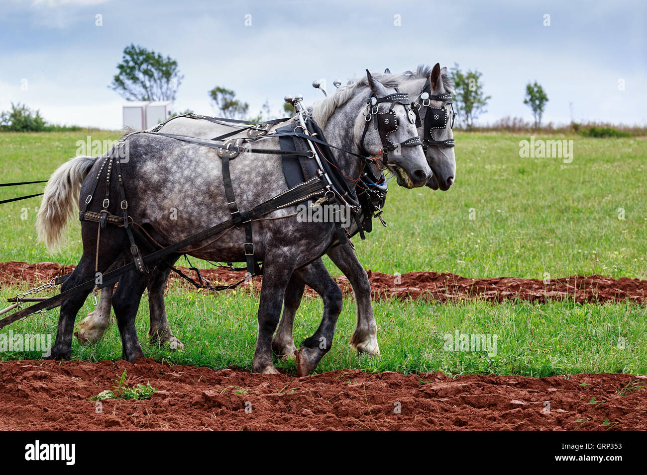 Plow Horse Harness Stock Photos & Plow Horse Harness Stock Images ...