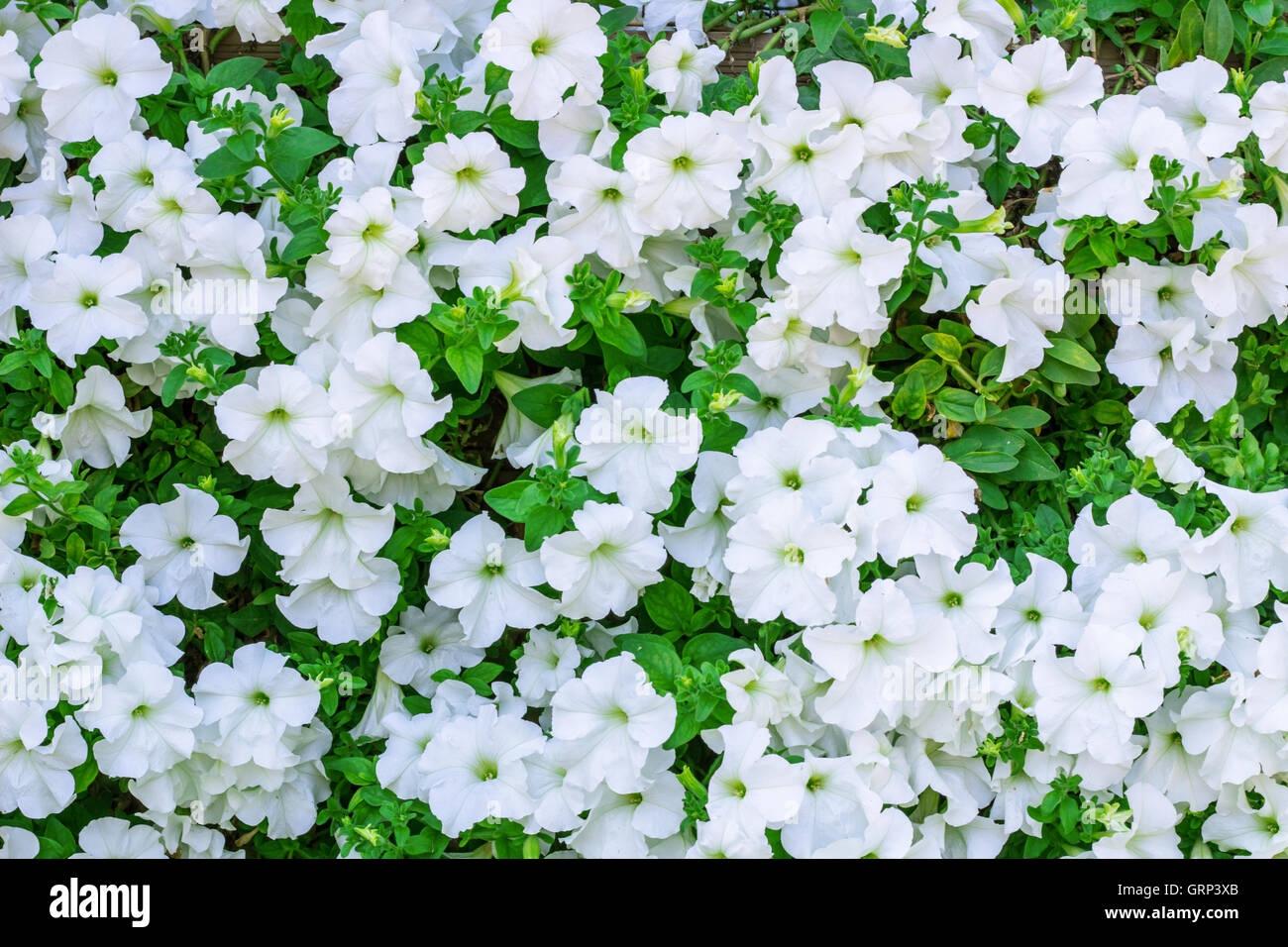 Floral background of copious quantities of blooming white Petunia flowers Stock Photo