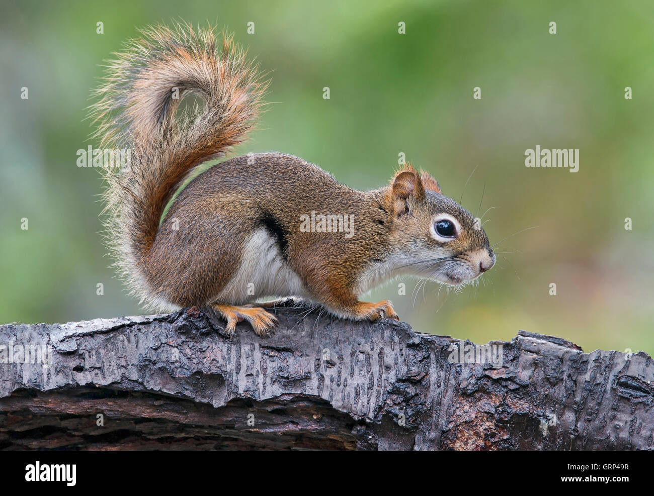 Eastern Red Squirrel making sounds, chatting (Tamiasciurus or Sciurus hudsonicus) E North America - Stock Image