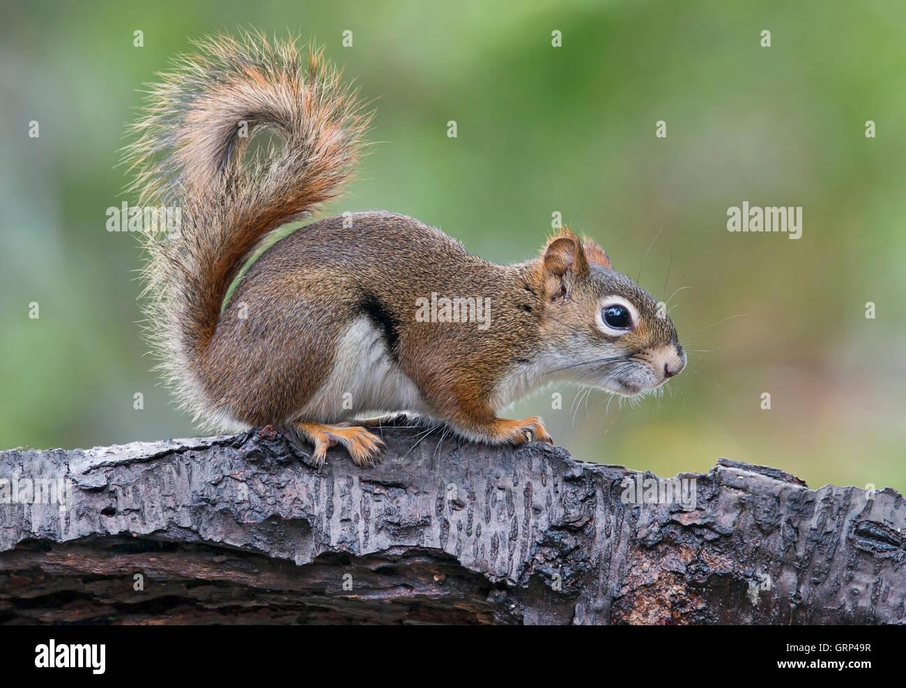 Eastern Red Squirrel making sounds, chatting (Tamiasciurus or Sciurus hudsonicus) E North America Stock Photo
