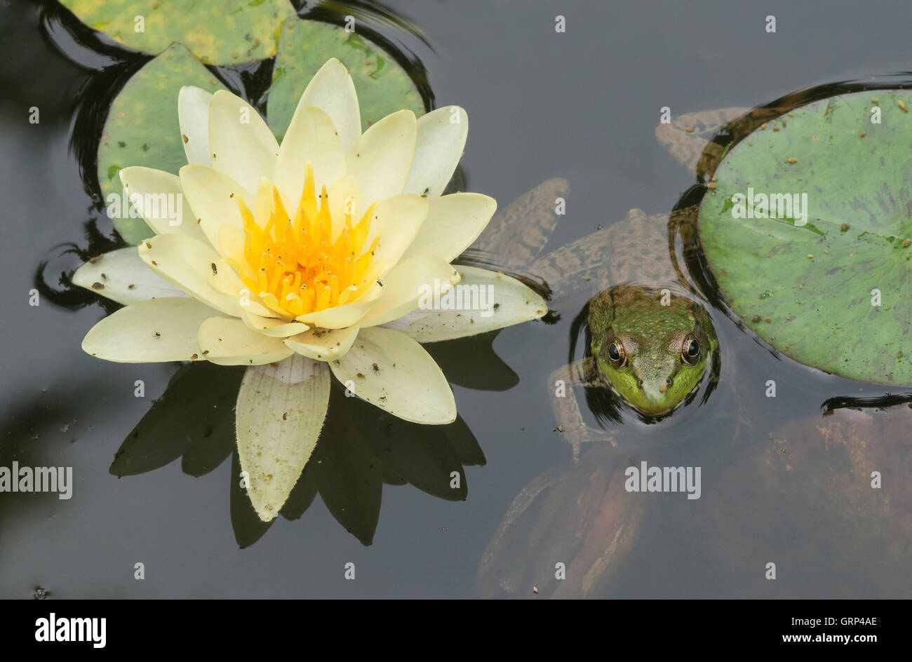 Green Frog Rana clamitans in pond with Water Lilys (Nymphaea odorata), and Springtails (Collembola) Eastern USA - Stock Image