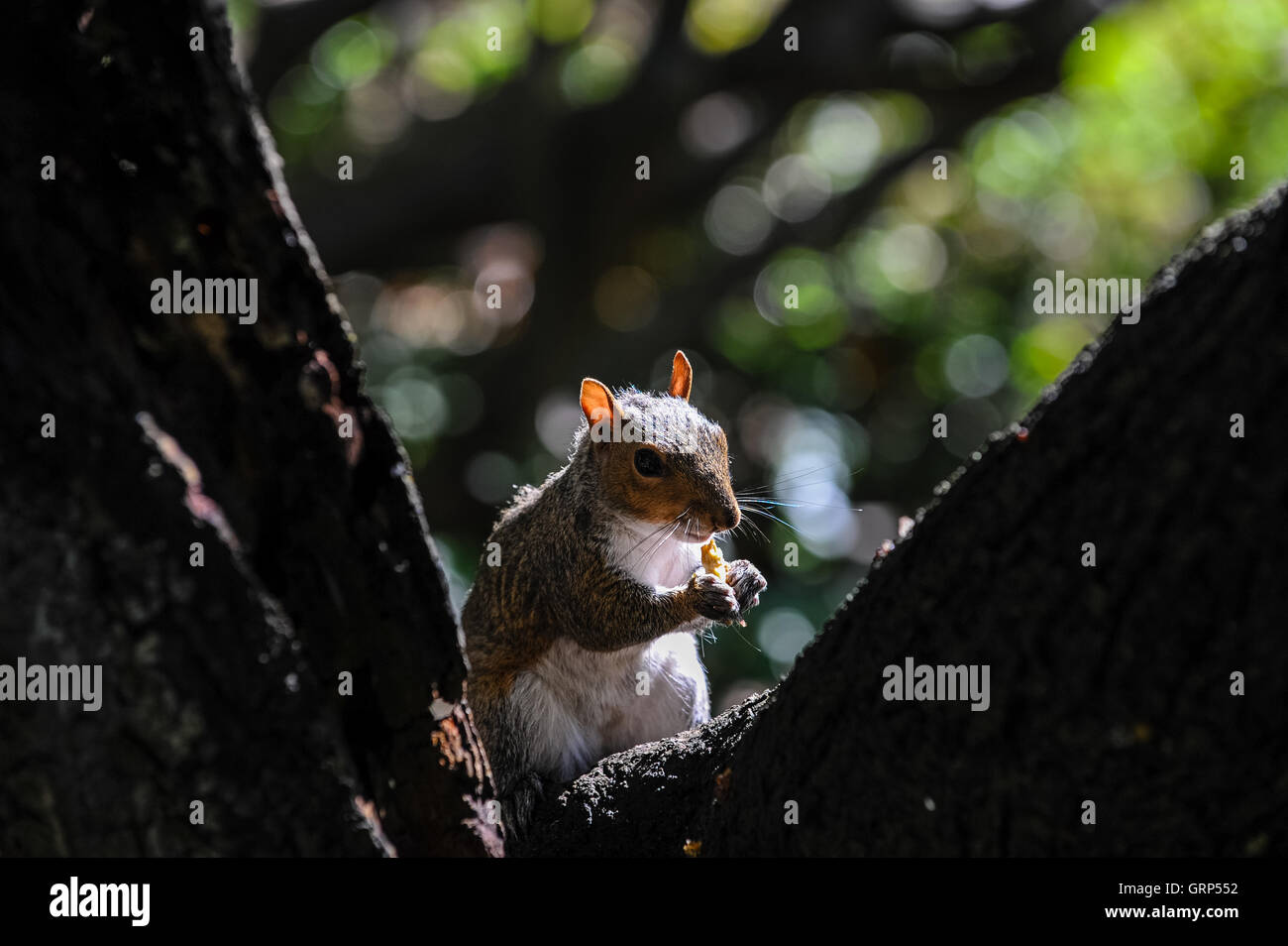 South Africa, Cape Town. Eastern gray squirrel in the Company's Garden. - Stock Image