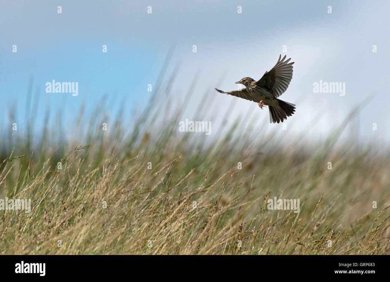 Skylark-Alauda arvensis sings in  flight. Uk - Stock Image