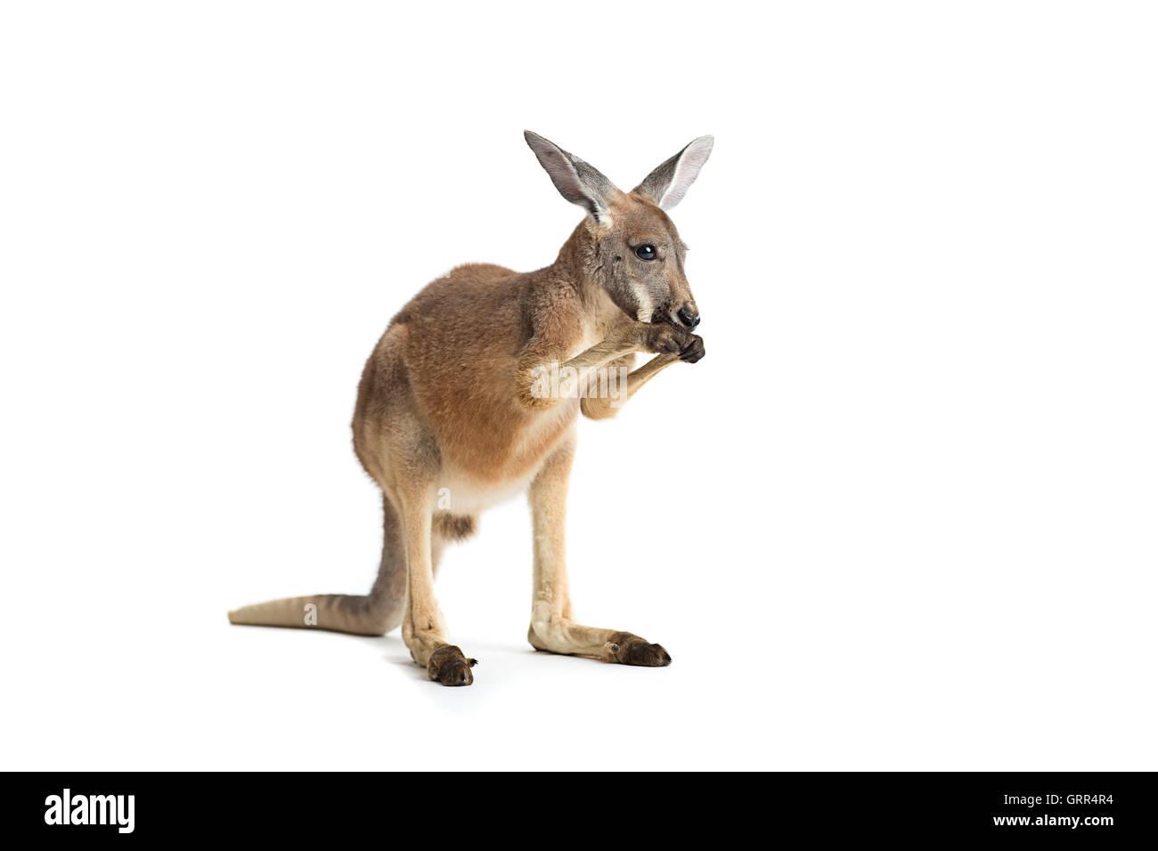 Red kangaroo on white background - Stock Image