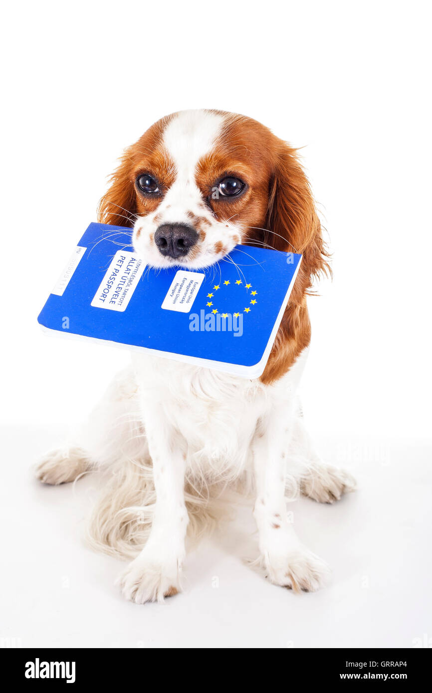 Cavalier king charles spaniel with Europen ID passport - Stock Image