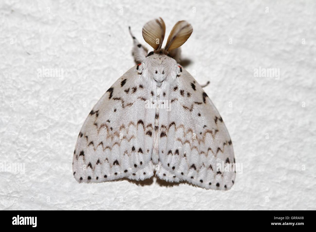 Moth with delta-like wings looking like the Concorde resting on the wall. - Stock Image