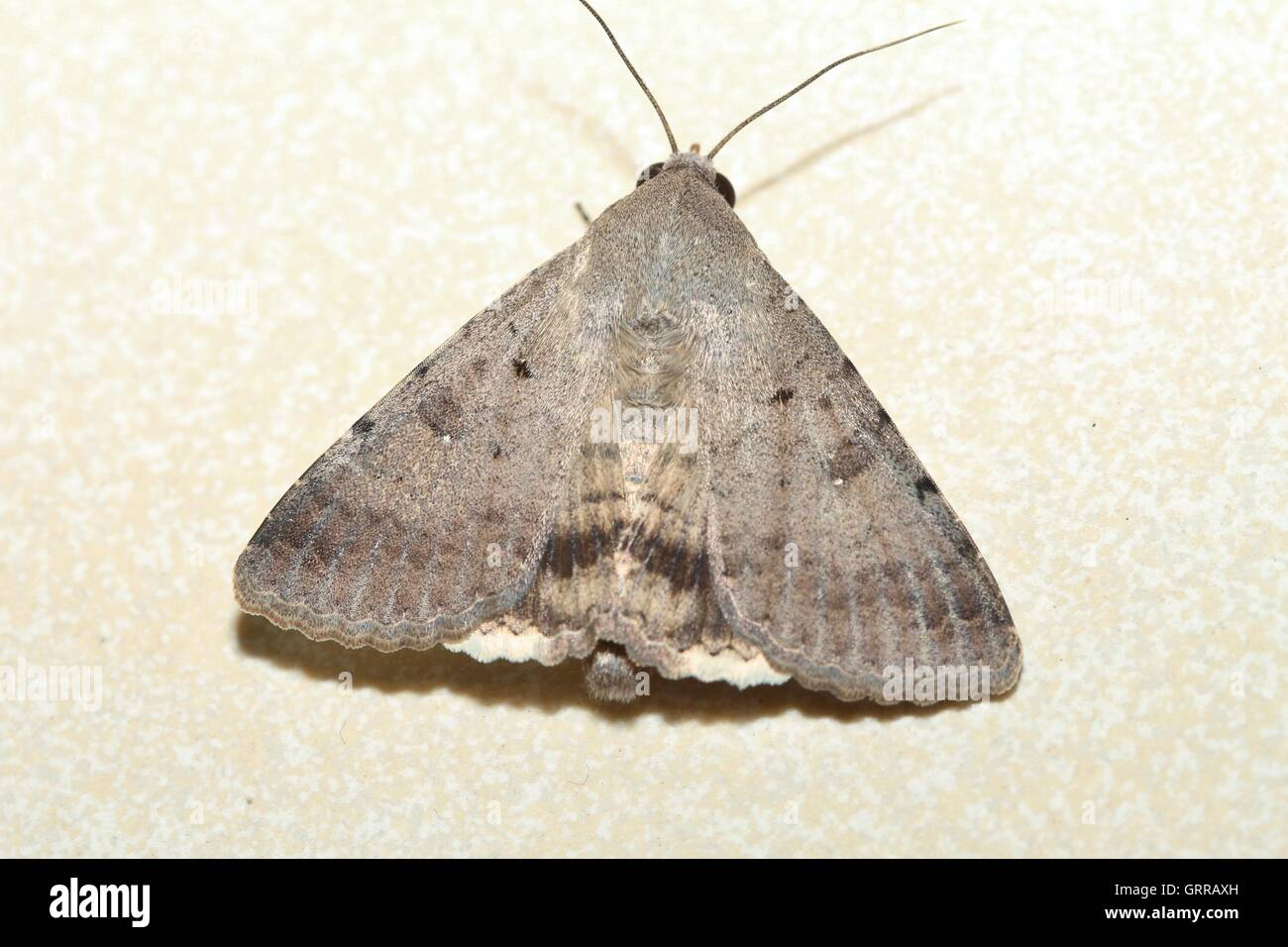 Moth with delta-like wings looking like the Concorde resting on floor. - Stock Image