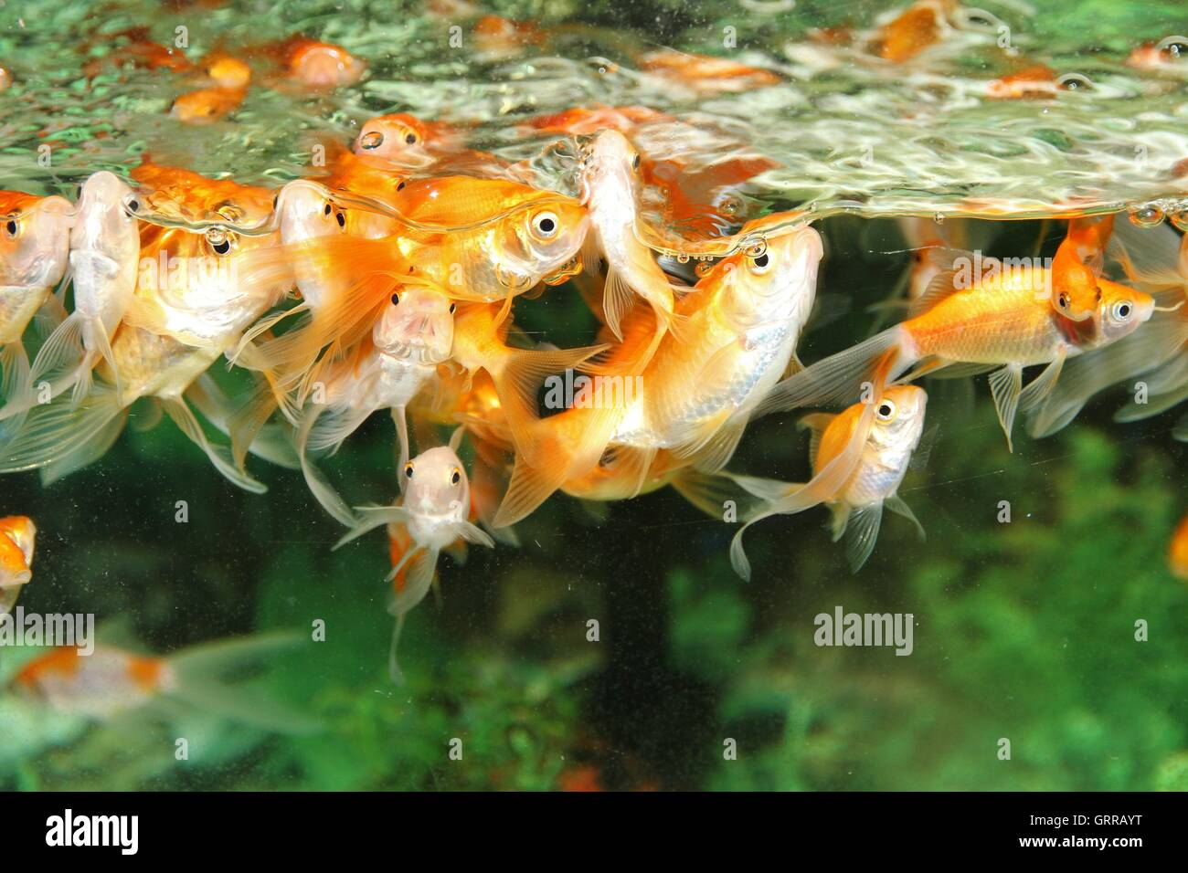 Gold fishes in a fish tank waiting for food. - Stock Image