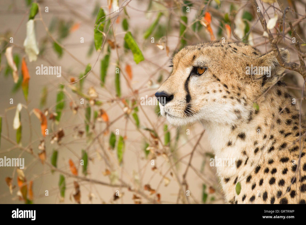 Cheetah looking left - Stock Image