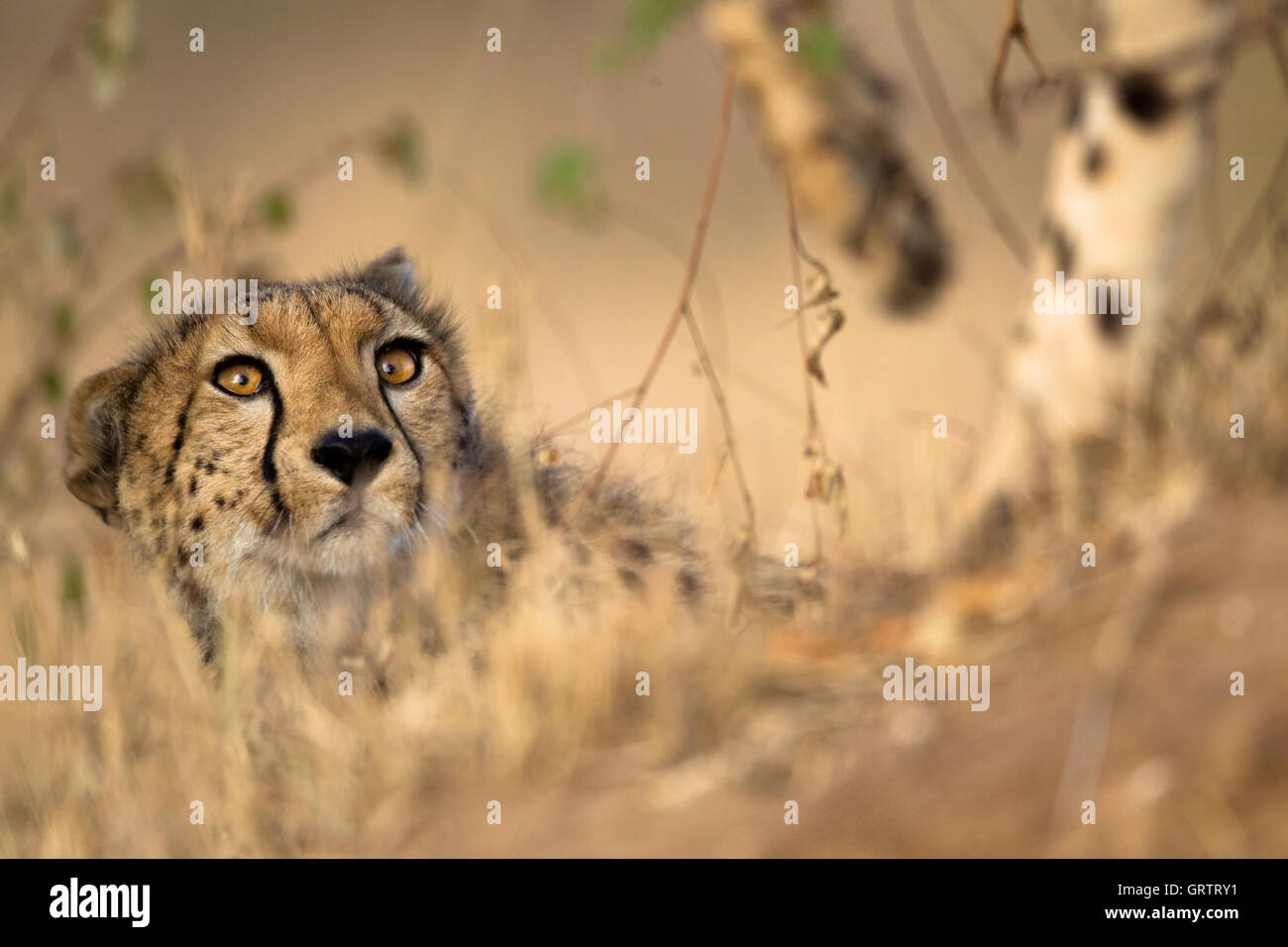 Cheetah looking up - Stock Image