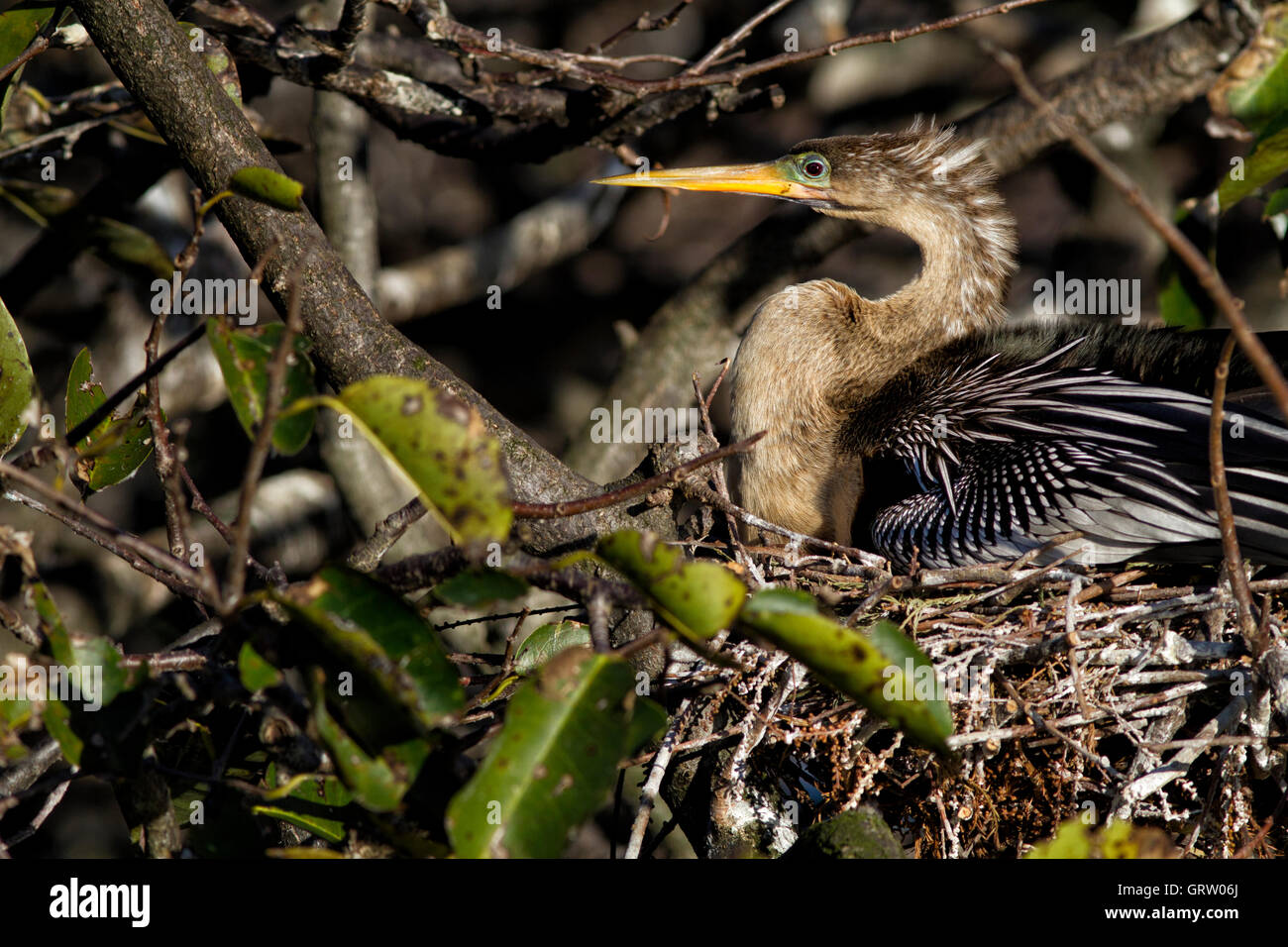 Female Anhinga anhinga sits on her nest incubating eggs. Like the male she has a ruby eye and greenish blue lore. - Stock Image