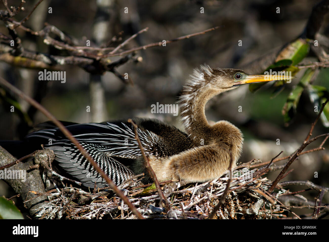 Female Anhinga anhinga sits on her nest incubating eggs. The intensified blue green lore and brilliant ruby eye - Stock Image