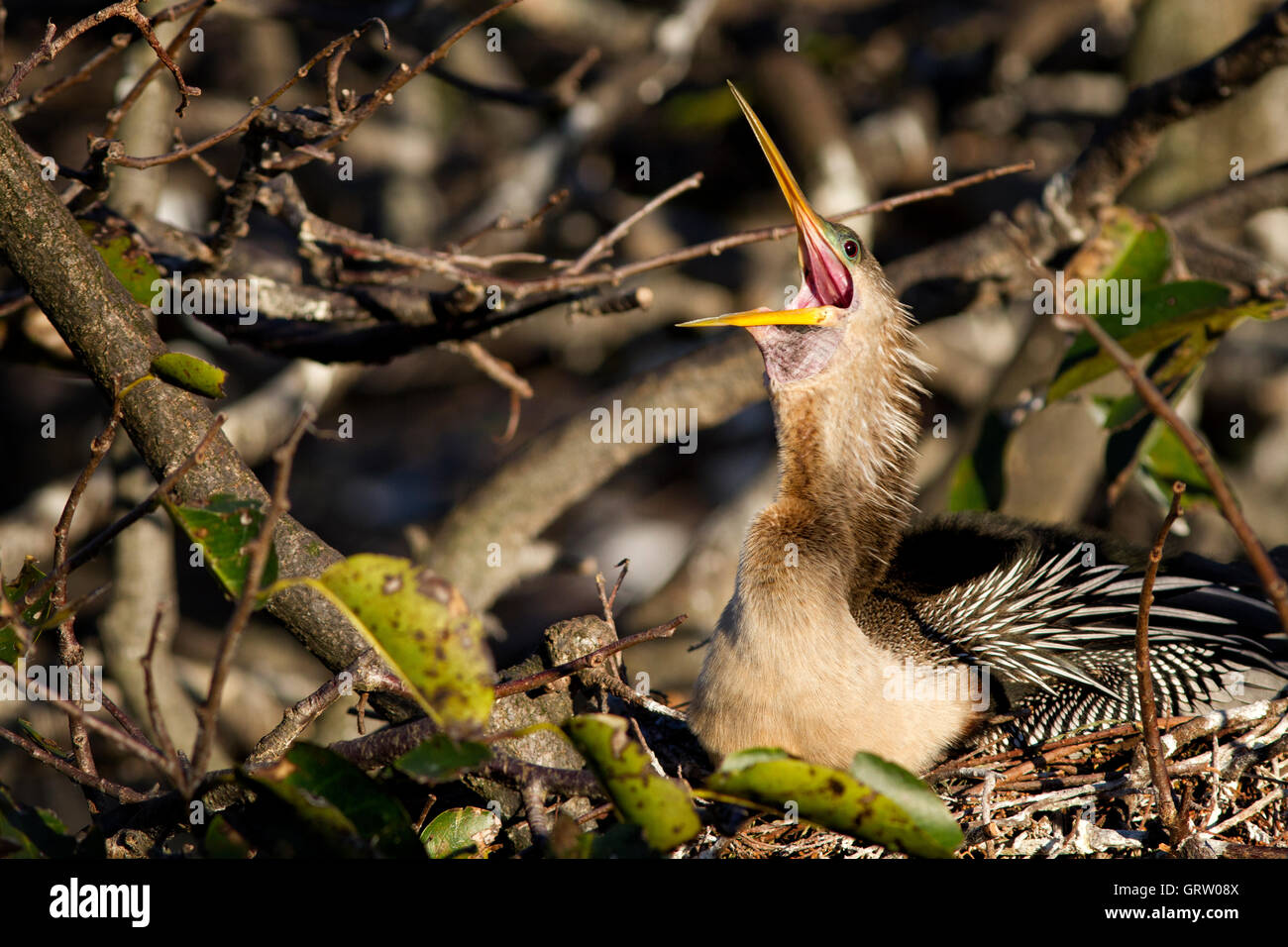 She's up!! Female anhinga in a broad yawn awakening from a well earned snooze while incubating eggs in her nest. - Stock Image