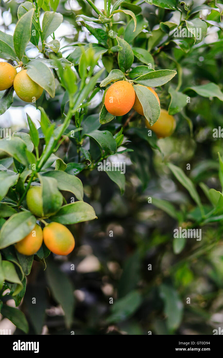 kumquat on tree stock photos kumquat on tree stock images alamy