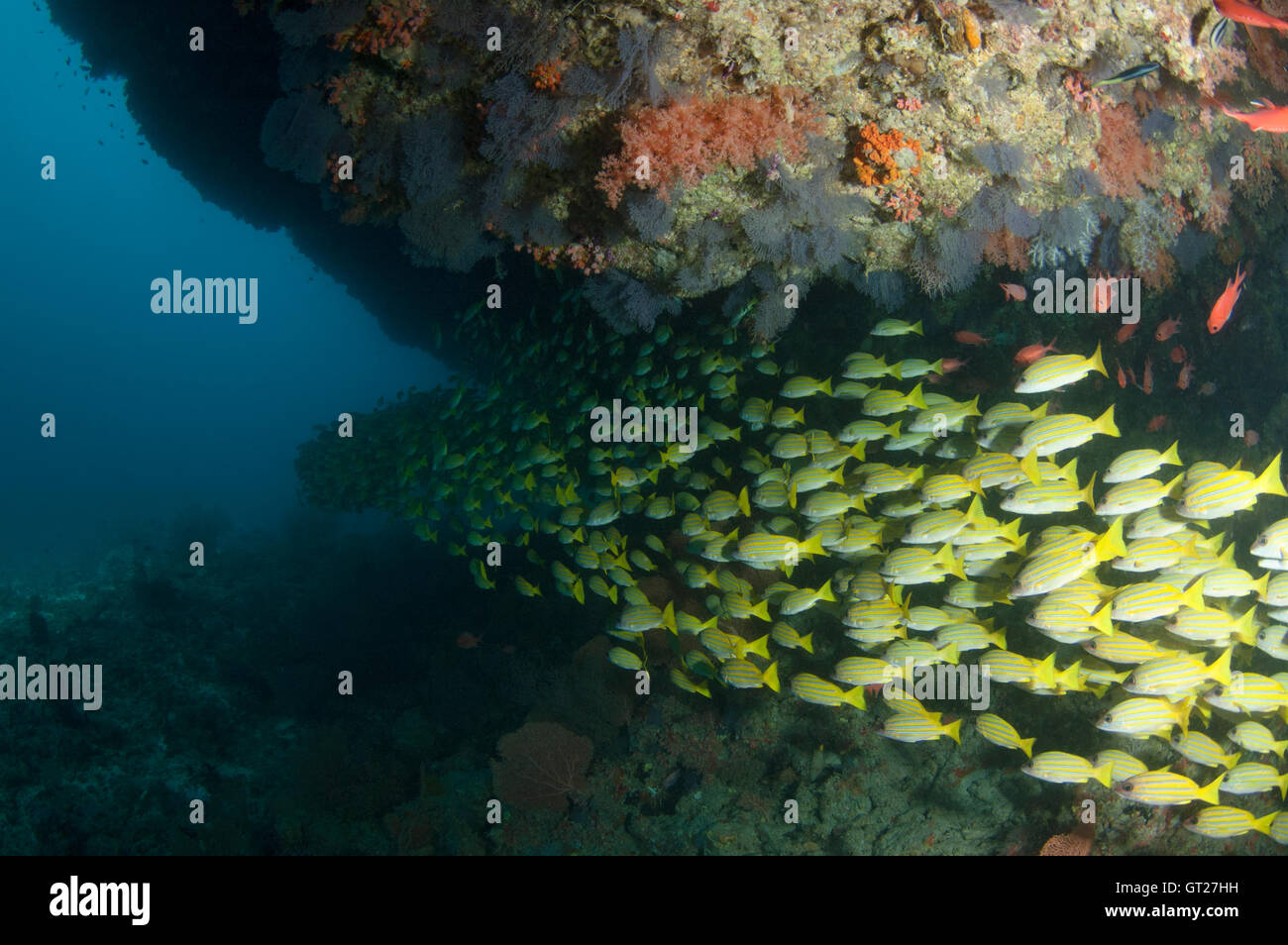School of yellow snappers under a overhang in Kuda Rah Thila, South Ari Atoll, Maldives - Stock Image