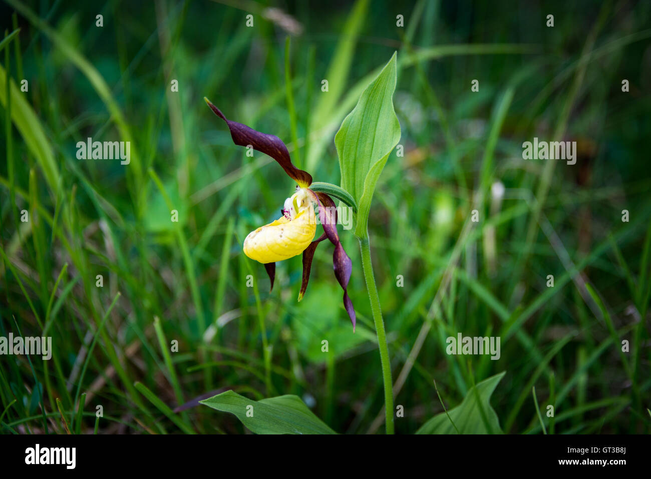 Ladies slipper orchid, Gait Barrows National Nature Reserve, Arnside, Cumbria, UK - Stock Image