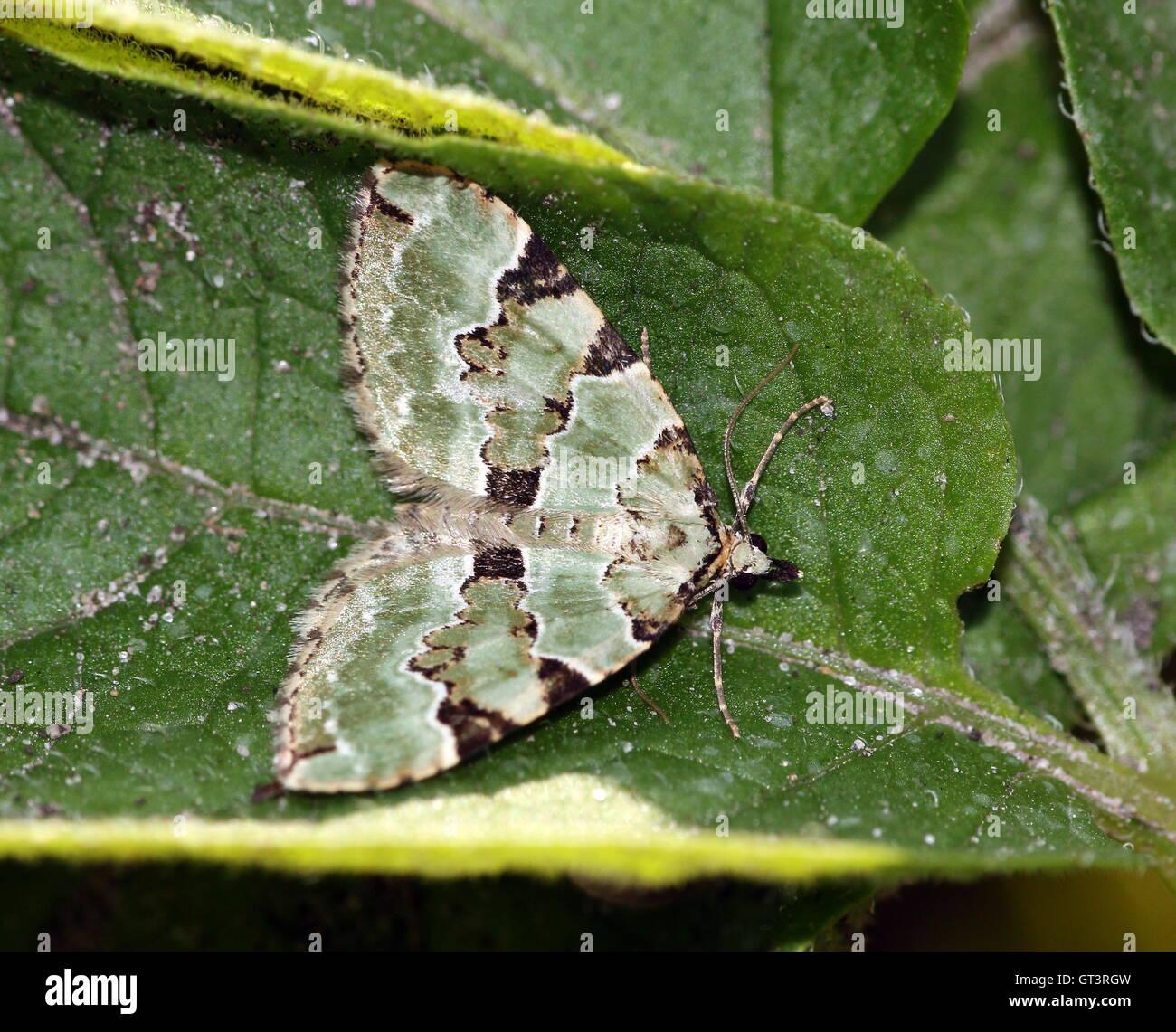 European Green Carpet Moth (Colostygia pectinataria - Geometridae) - Stock Image