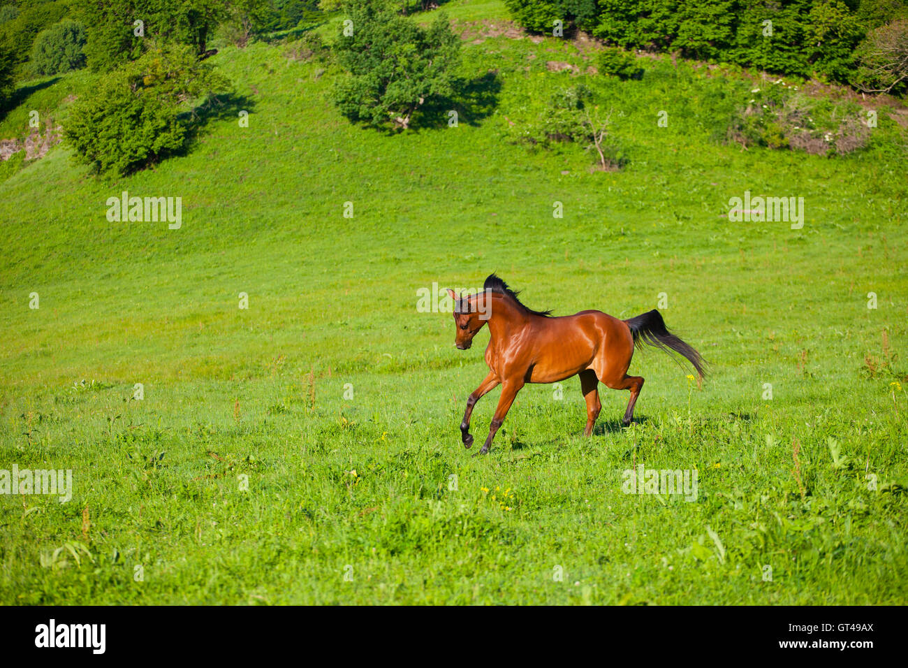 Chestnut Thoroughbred Horse Galloping On Stock Photos
