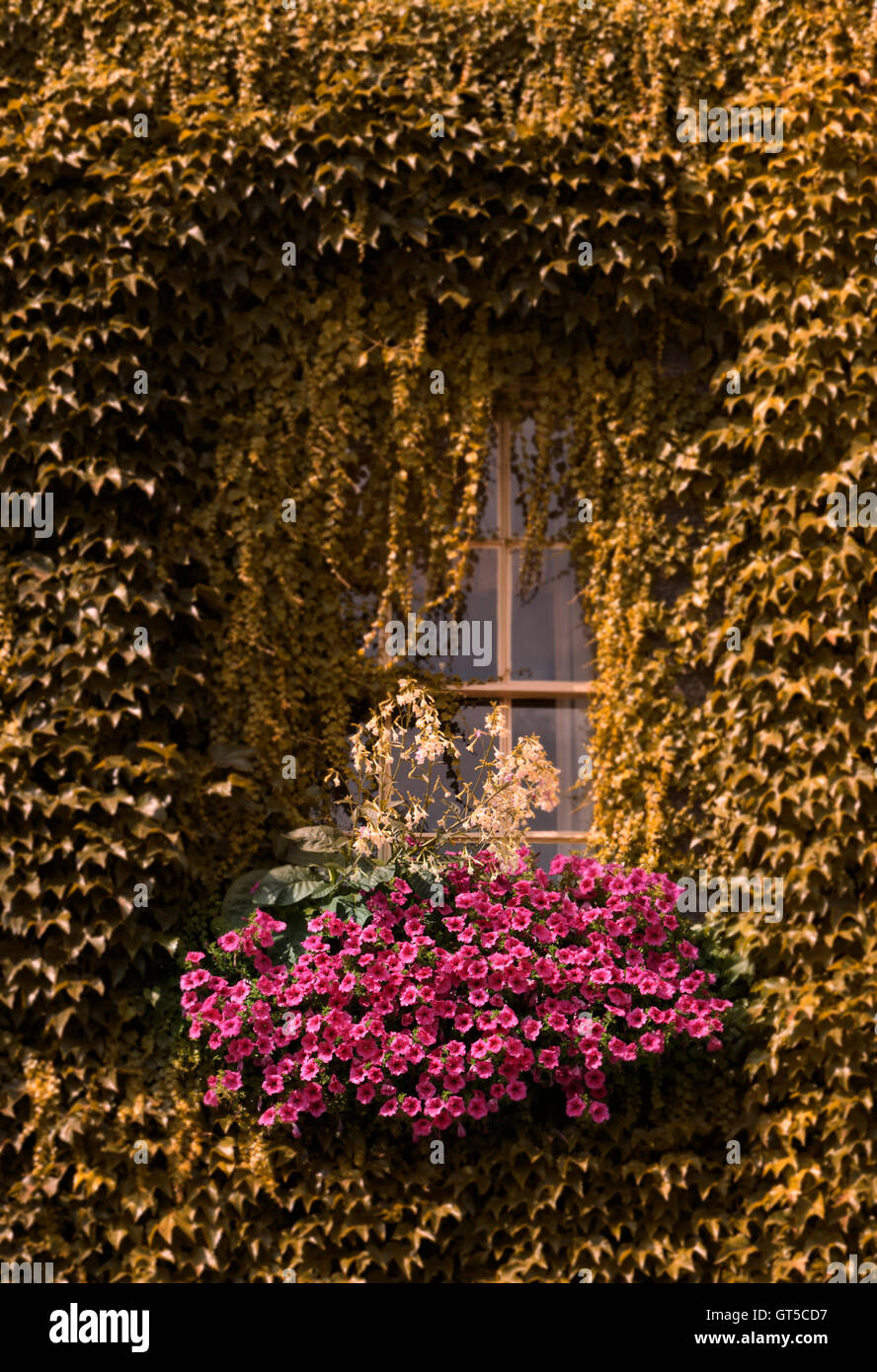 Ivy draped around in an arch over window box of pink flowers, ivy has been changed to a bronze colour effect. Unsharpened Stock Photo