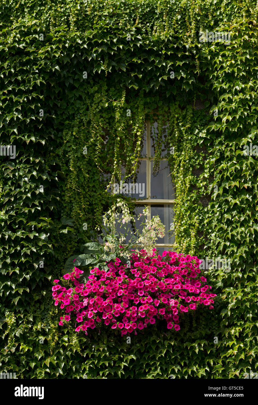 green ivy draped around an arch over window box of pink flowers. Unsharpened - Stock Image