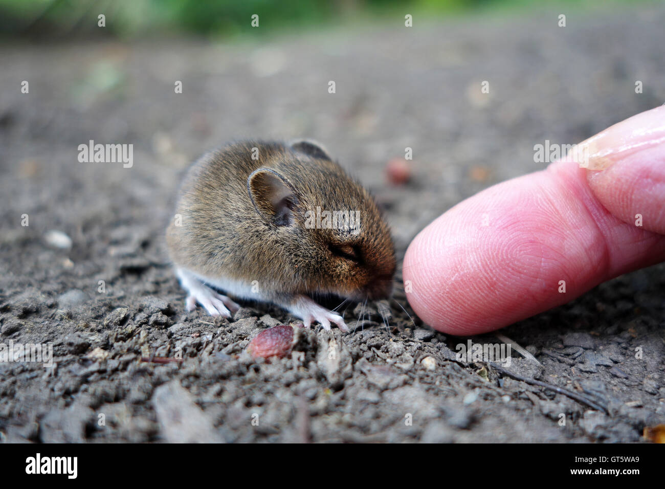 Wood or Long Tail Field Mouse sleeping being touched by human finger tip Uk - Stock Image