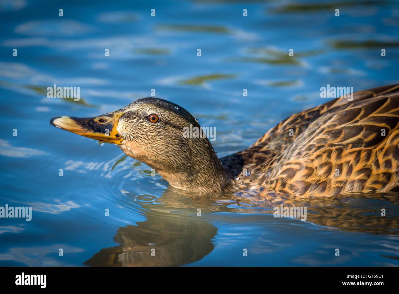 Female Mallard Duck - Stock Image