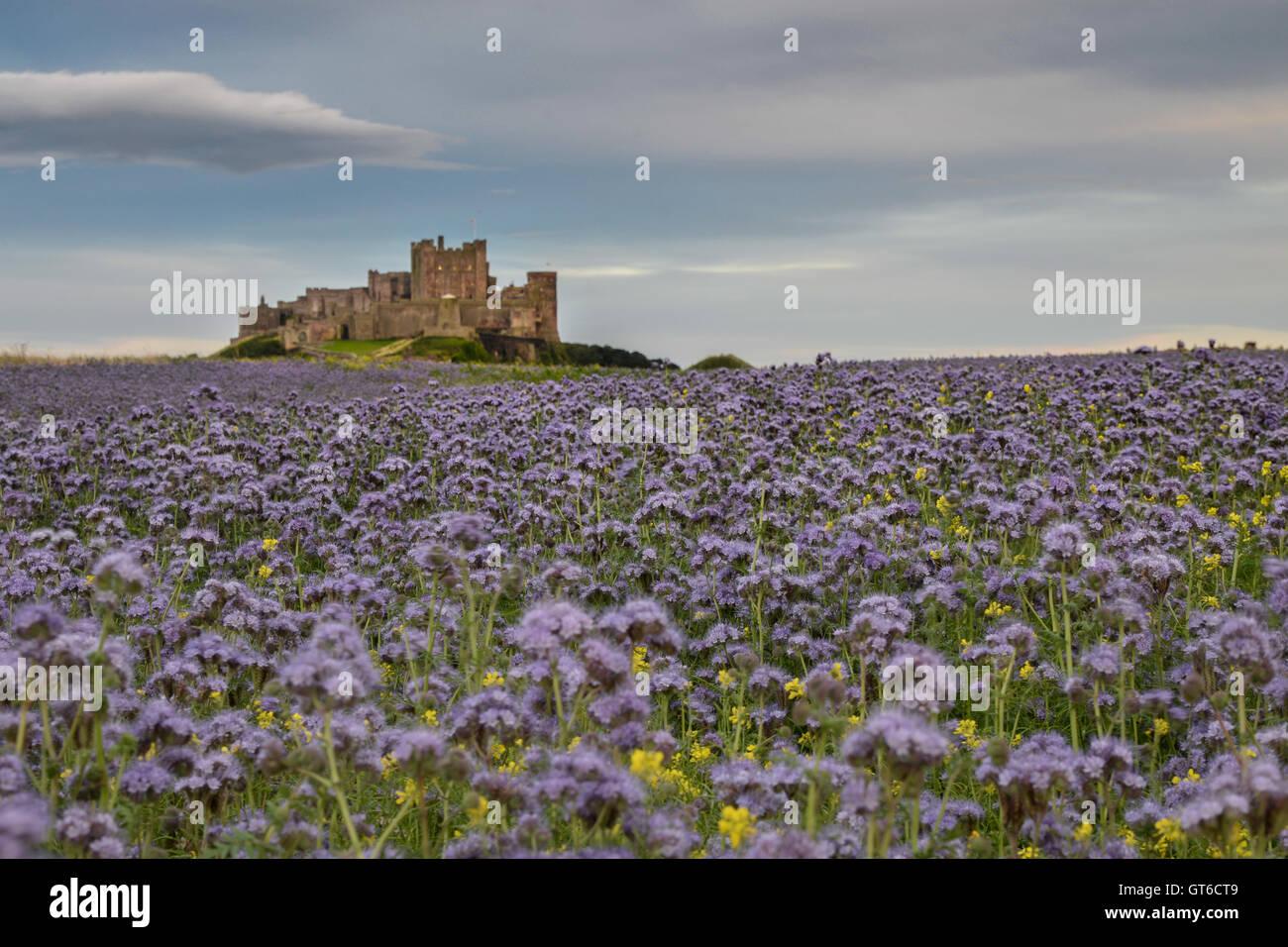 bamburgh, castle, northumberland, sea, coast, sand, england, beach, architecture, uk, dunes, ancient, landscape, - Stock Image