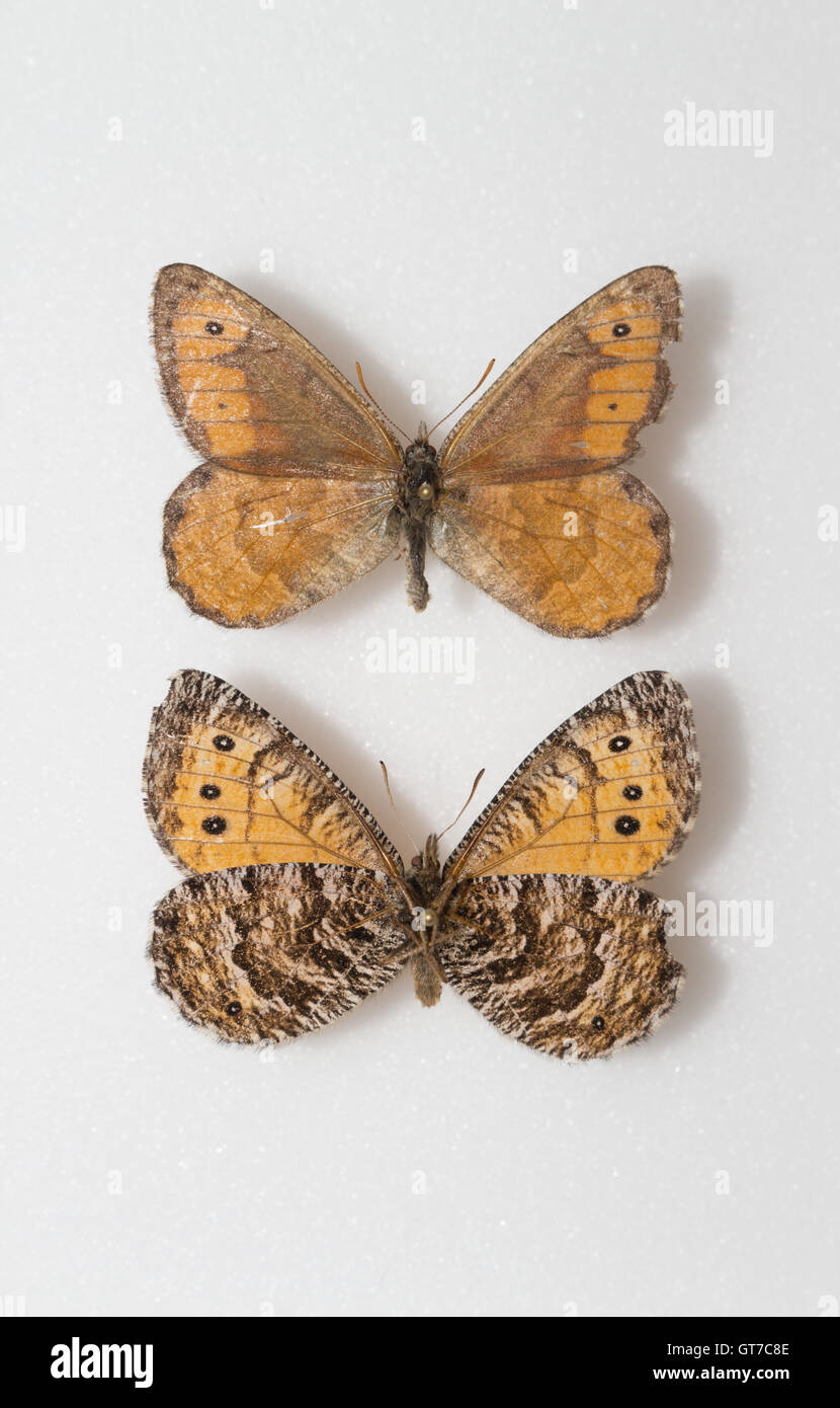 A pair of pinned and spread Chryxus Arctic butterflies (Oeneis chryxus) in an insect collection showing dorsal and - Stock Image