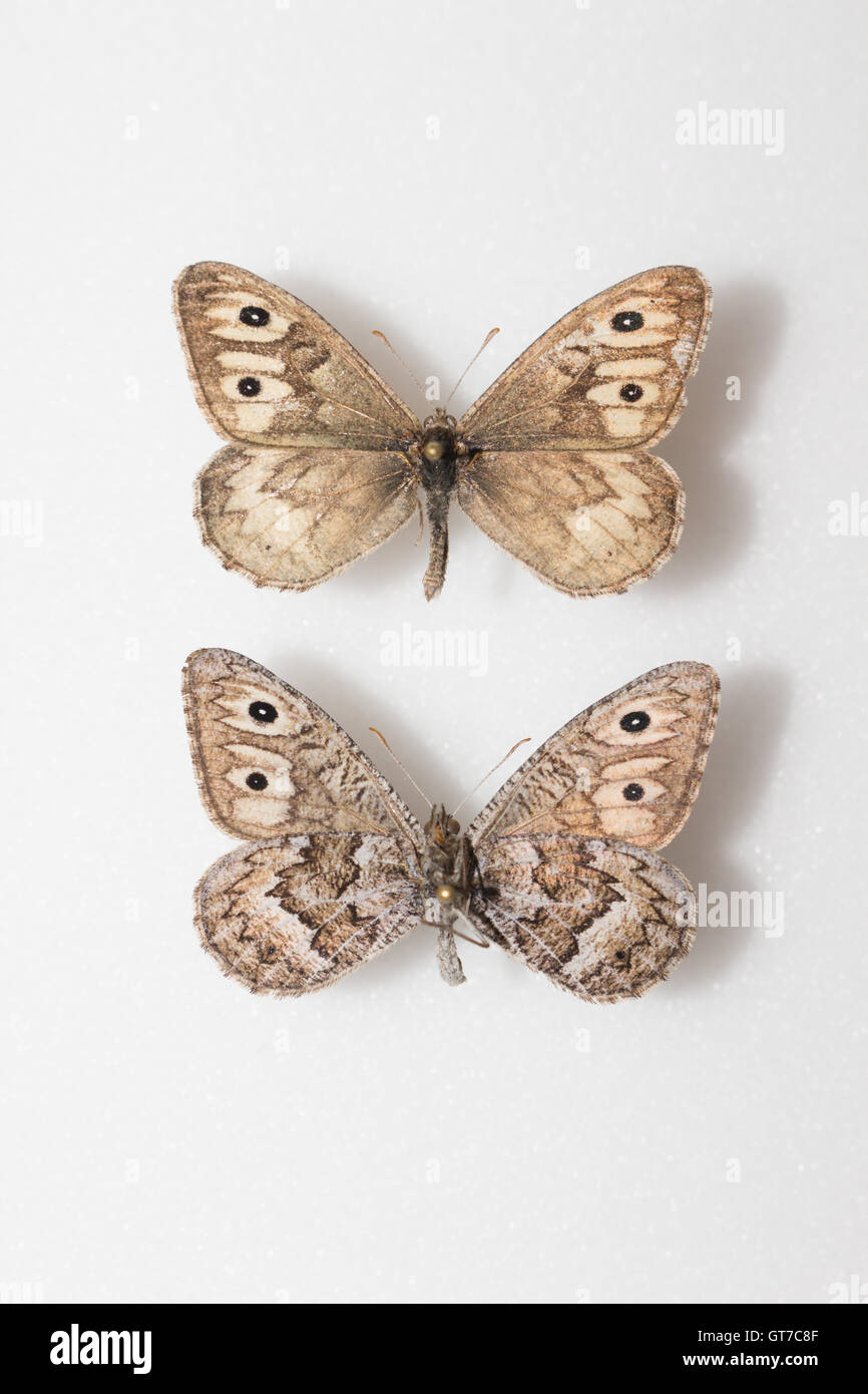 A pair of pinned and spread Ridings' Satyr butterflies (Neominois ridingsii) in an insect collection, dorsal - Stock Image