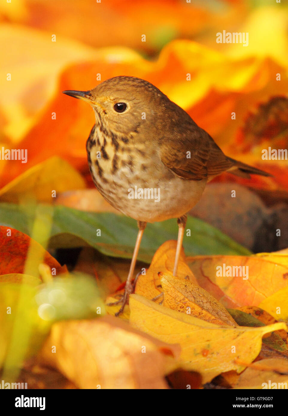 A Swainson's Thrush among bright autumn leaves. Stock Photo