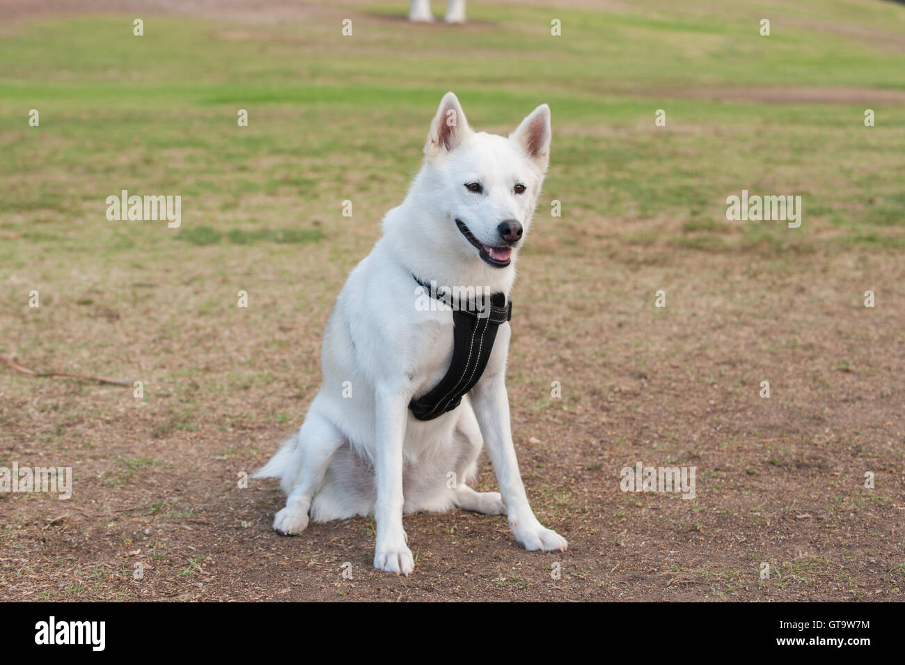 White Siberian Husky Dog Sitting In Grass At Park With Interest