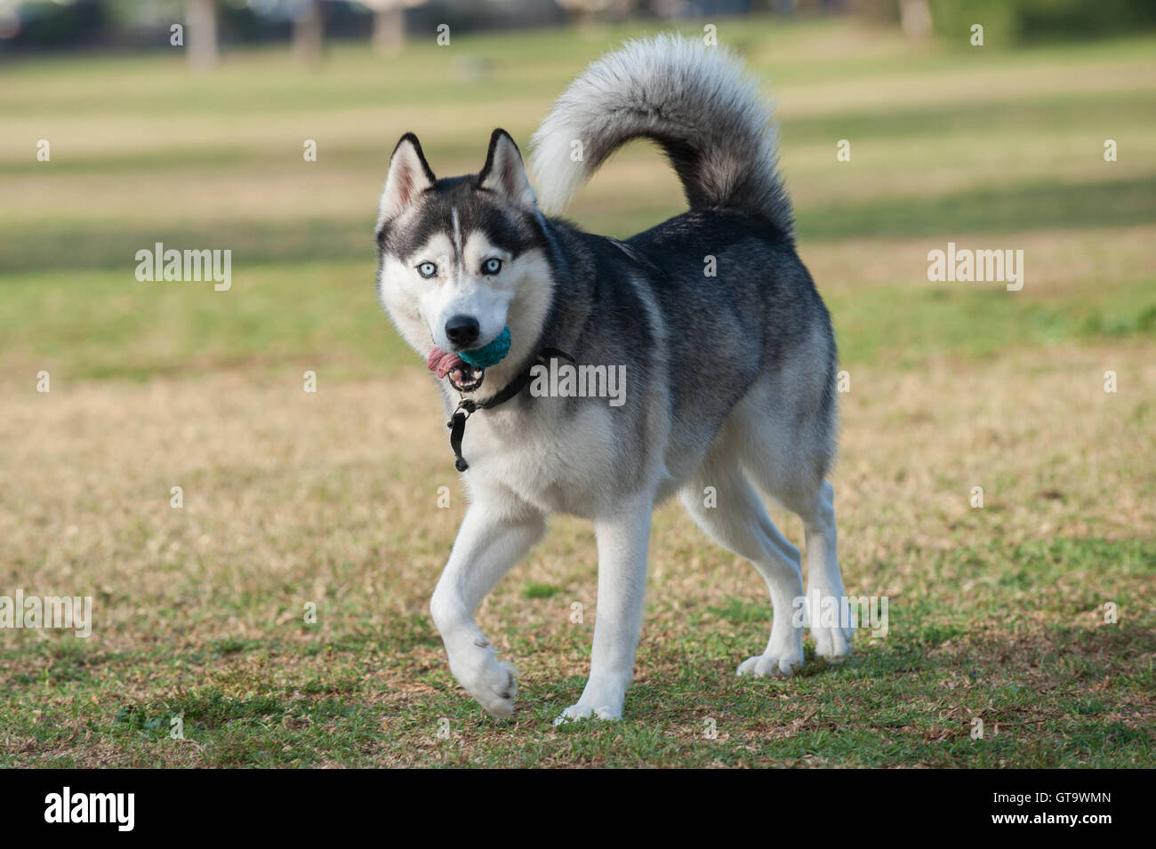 Black and white Siberian Husky dog walking in grass at park while looking right. - Stock Image