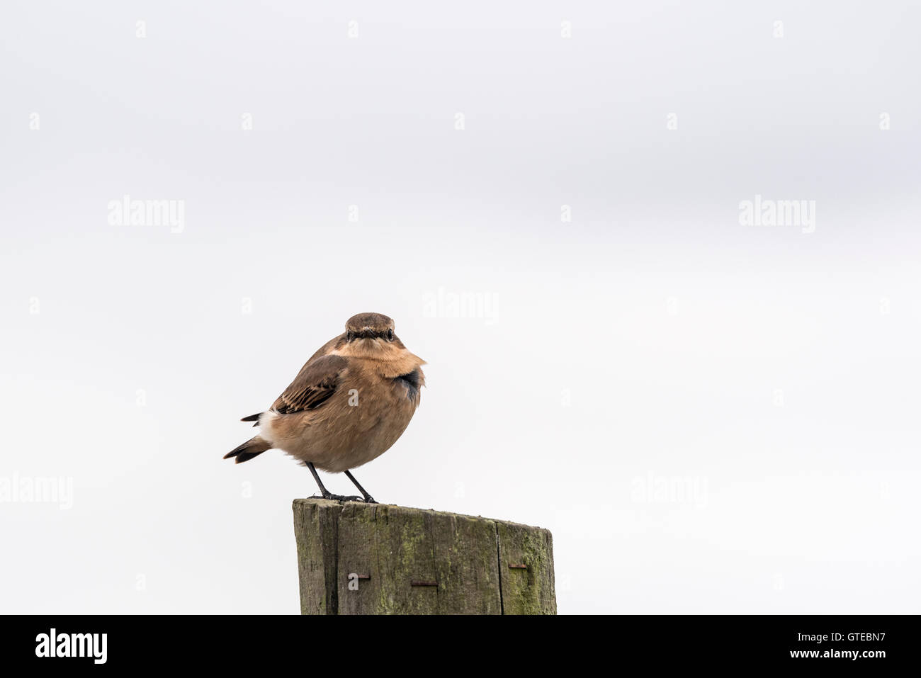 A Wheatear perched on a post Stock Photo