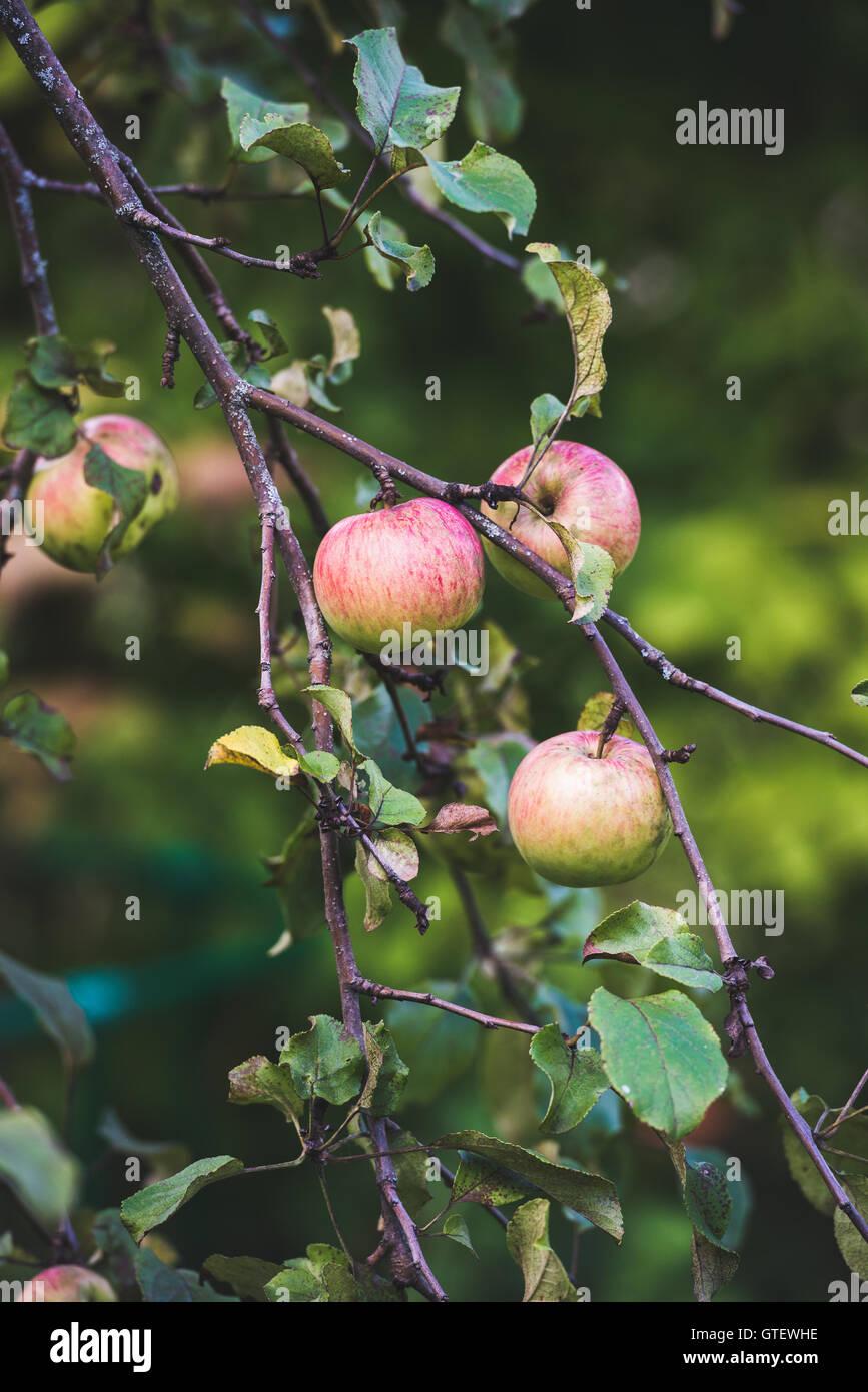 Fresh pink harvest apples on tree branch in garden - Stock Image