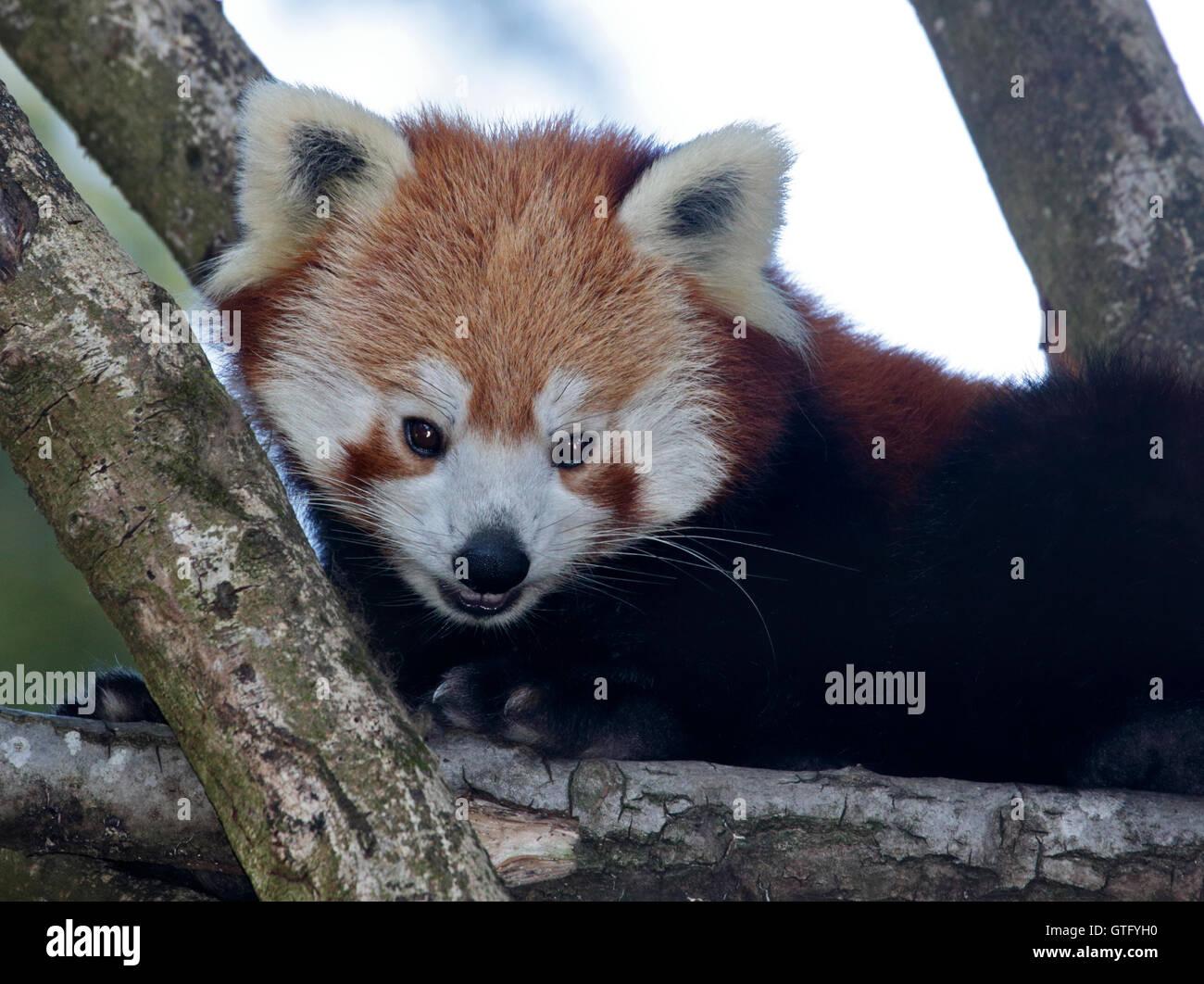 Red Panda (ailurus fulgens) - Stock Image