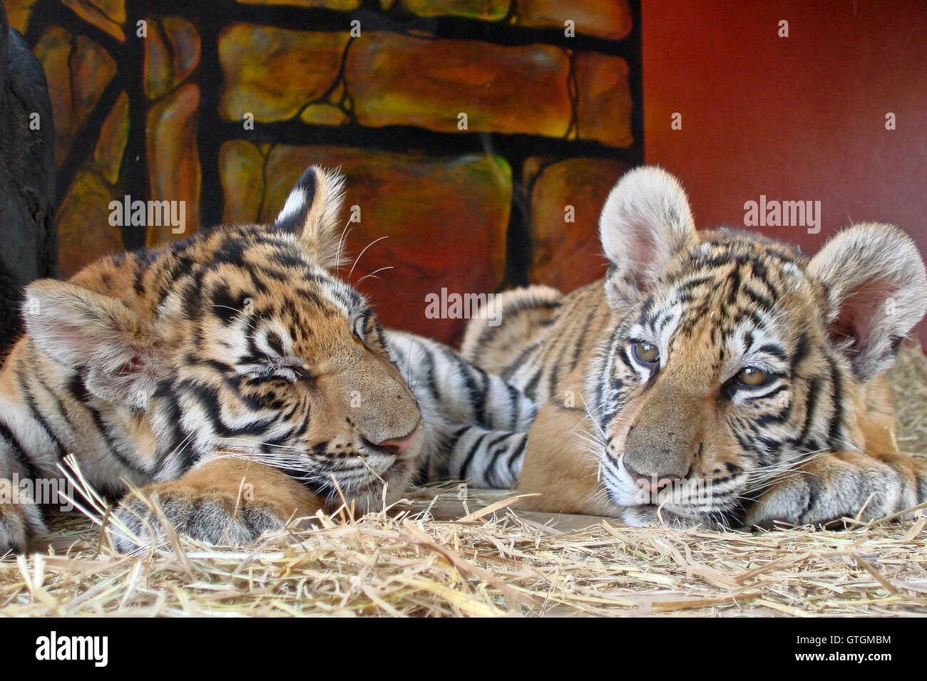 Tiger cubs snoozing - Stock Image