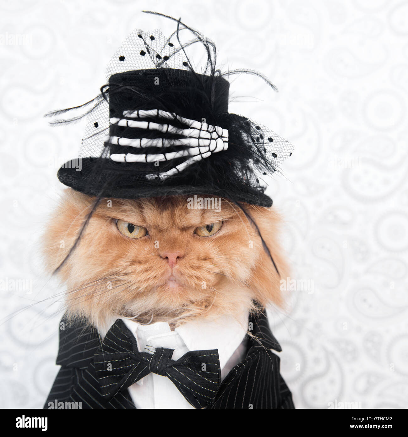 Persian cat with Halloween costume looking at camera - Stock Image