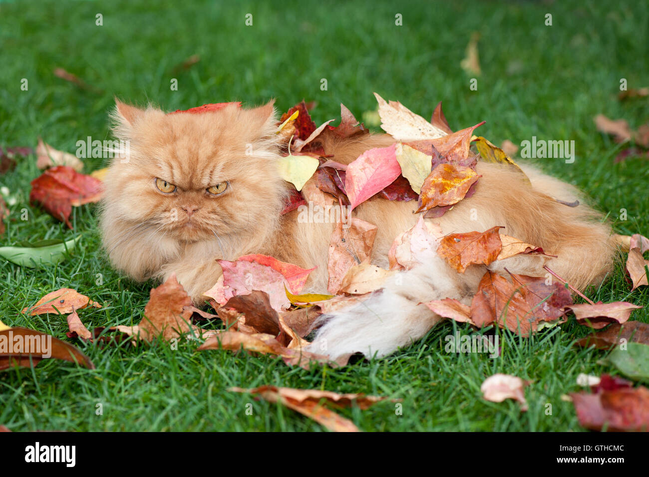 Persian cat in autumn leaves - Stock Image